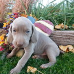 Blue Collar Gray Male- SOLD - Martin