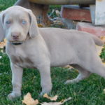Blue Collar male - SOLD - Martin